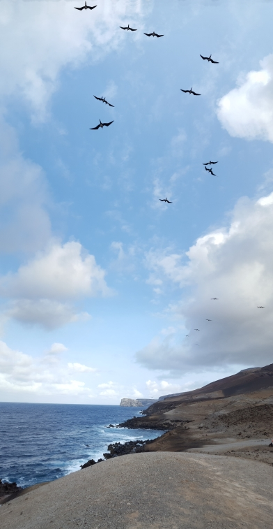 Ascension frigatebirds